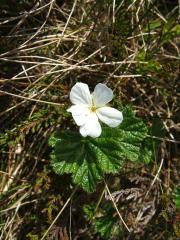 Rubus chamaemorus Glen Lochay 1st June 2008, © Kim Harding