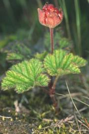 Rubus chamaemorus Coire Cas, Cairngorm © Chris Jeffree