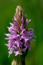Spotted orchid, Dactylorhiza fuchsii at Beecraigs, 28th June 2006. © Chris Jeffree.